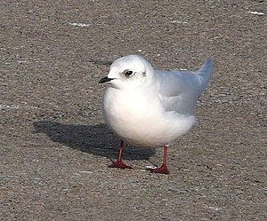 Ross's gull - An adult in non-breeding plumage.