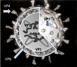 A cut-up image of a single rotavirus particle showing the RNA moecules surrounded by the VP6 protein and this in turn surrounded by the VP7 protein. The V4 protein protrudes from the surface of the spherical particel.
