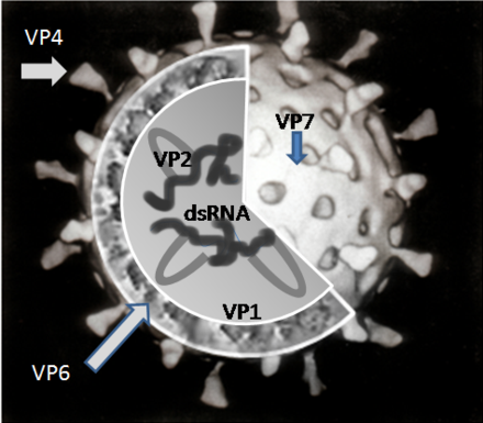 A simplified diagram of the location of rotavirus structural proteins