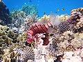 Rotfeuerfisch, lionfisch (рыба-зебра, рыба-лев). DSCF1370OBBE.jpg