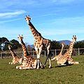 Rothschild's Giraffe.jpg