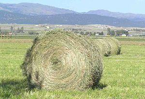 Hay - Good quality hay is green and not too coarse, and includes plant heads and leaves as well as stems. This is fresh grass/alfalfa hay, newly baled.