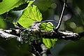 Ruby-throated hummingbird on nest 02.jpg