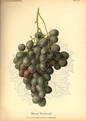 Wilhelm Lauche - Chromolithograph of  Muscat Hamburgh grapes in Handbuch der Tafeltraubenkultur (Handbook of Table Grape Culture)