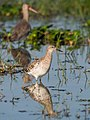 Ruff and Black-tailed Godwit (19995793686).jpg