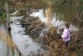 Ruisseau de Chevral avec barrage de castors.png