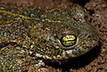 Running Toad (Bufo calamita) close-up (10113921165).jpg