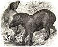 SFR b+w - tapir.jpg