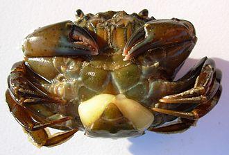Multicrustacea - Image: Sacculina carcini 5352