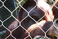 Sad Orangutan (3336636529).jpg