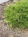 Sagina.procumbens.1531.jpg