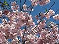 Saint Petersburg. Chinese Garden. Sakura tree2018 06.jpg