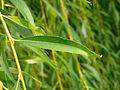 Salix chrysocoma (12).JPG