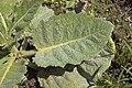 Salvia argentea B.jpg