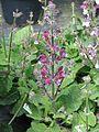 Salvia hierosolymitana - Flickr - peganum (5).jpg