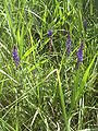 Salvia nemorosa habitus.jpg
