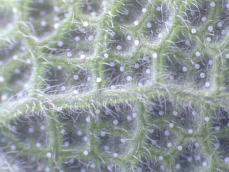 USB microscope - The USB image of the underside of a sage leaf - more trichomes are visible on this side.