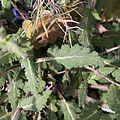 Salvia verbenaca-Sauge à feuille de verveine-Feuilles-20160417.jpg