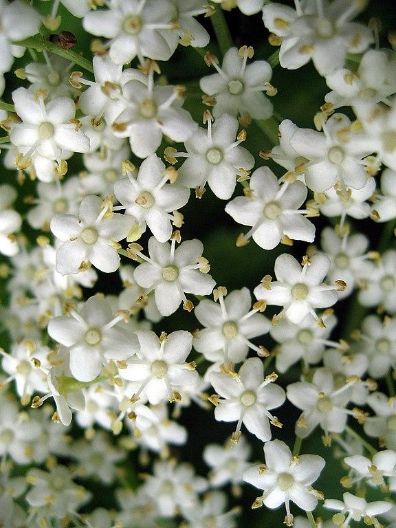 Baza čierna - kvety