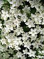Sambucus nigra 02.jpg