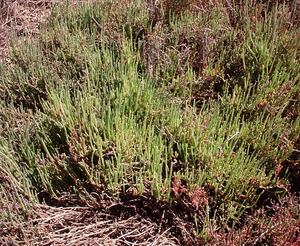 Glasswort - Tecticornia pergranulata (blackseed glasswort).