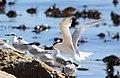 Sandwich Terns (Sterna sandvicensis), Cape Town (5293675613).jpg