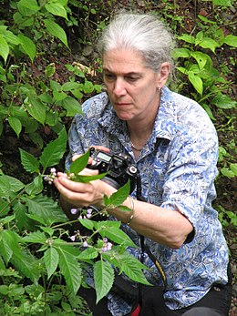 Sandy Knapp collecting Solanum sinuatiexcisum - TS 2012.jpg