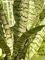 Sansevieria trifasciata Leaf Closeup 2448px.jpg