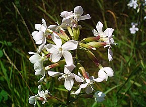 Description de l'image Image:Saponaria_officinalis.jpg.