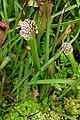 Sarracenia leucophylla Raf..JPG