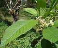 Saurauia montana (9502698563).jpg