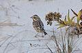Savannah Ipswich Sparrow (Passerculus sandwichensis princeps) (11117993945).jpg