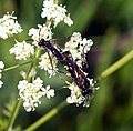 Sawflies (18453020378).jpg