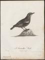 Saxicola formicivora - 1796-1808 - Print - Iconographia Zoologica - Special Collections University of Amsterdam - UBA01 IZ16200338.tif