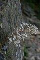 Saxifraga cotyledon (2703489808).jpg