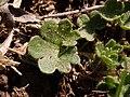 Saxifraga granulata 2021-03-31 5080.jpg