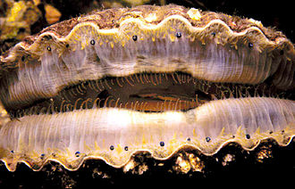 Mollusc eye - Scallops have up to 100 simple eyes