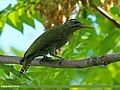 Scaly-bellied Woodpecker (Picus squamatus) (24659596141).jpg