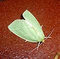 Scarce Silver-lines. Bena bicolorana - Flickr - gailhampshire (2).jpg