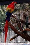 Scarlet Macaw (Ara macao) -full length-1c.jpg