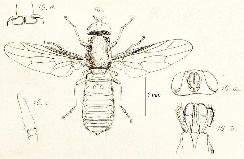 ScenopinusFenestralisInsectaBritannicaDiptera