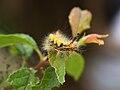 Schlehenspinner Orgyia antiqua nahe Dietfurt-006.jpg