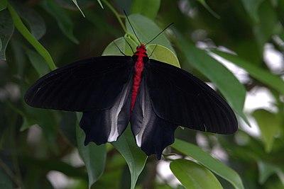 schwarzer Schmetterling Bedeutung
