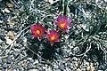 Sclerocactus spinosior fh 69 81 UT B.jpg