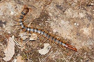 Myriapoda - Scolopendra cingulata, a centipede