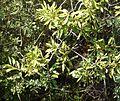 Scolopia zeyheri, lower, Little Eden.jpg