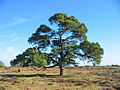 Scots Pine, near Wilverley Inclosure, NewForest National Park, Hampshire - geograph.org.uk - 935208.jpg