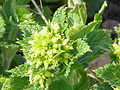 Scrophularia auriculata1.jpg