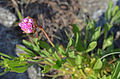Sea Thrift, San Juan Islands (15147762951).jpg