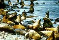 Sea lions on coast near water eumetopias jubatus.jpg